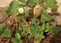 blühende Erdbeer-Pflanze