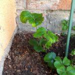 Erdbeere eingepflanzt